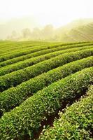 fazenda de chá