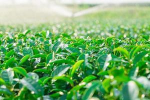 fazenda de chá verde