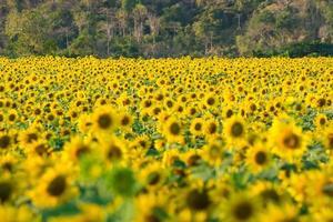 granja de flores de sol foto