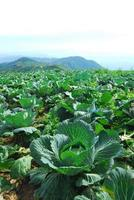 Big Cabbage farm photo