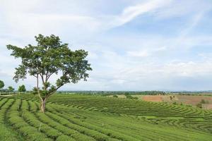 ferme d'arbre à thé