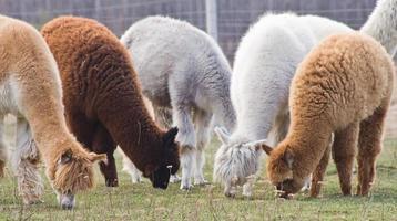 Alpaca on farm photo