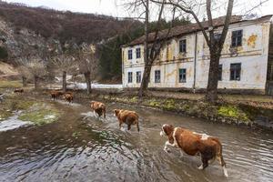 Rural cattle farming photo