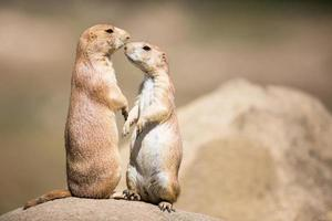 Two prairie dogs in close communication