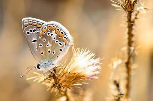 golden butterfly photo
