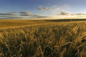 campo de trigo en una noche de verano