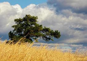 Yellow sage brush, lone pine tree, and cloudscape. photo