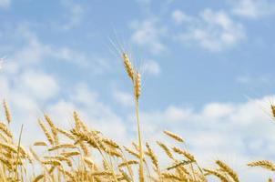 Wheat sky photo