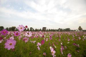 cosmos flower, sky, photo