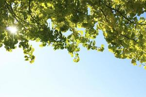 Ginkgo and sky photo