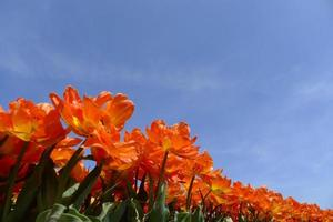 orange tulips underblue sky