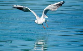 Gull flying over sea photo