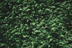 fundo de abeto verde foto