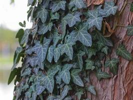 hiedra en el tronco de un árbol