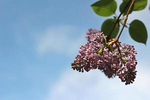 Lilac on the sky