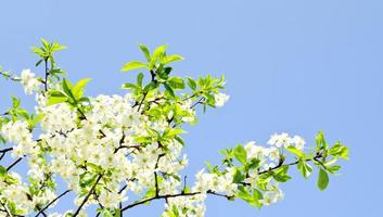 Apple blossoms and blue sky