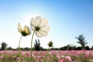 Cosmos flower with blue sky photo