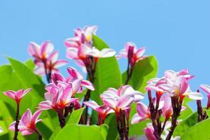 plumeria rosa en el cielo