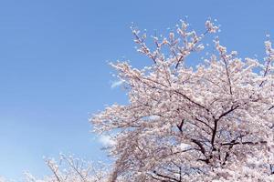 cielo azul y somei yoshino foto