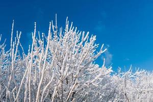 Snowy trees over blue sky photo