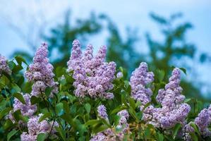 Purple lilac in blue sky photo