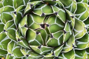 Closeup of Symmetric Green Cactus photo