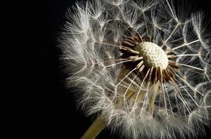 Dandelion seeds photo