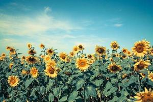 blooming sunflower photo