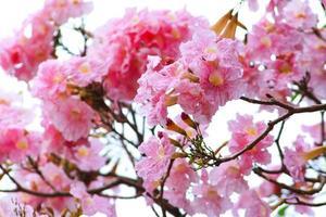 flor de trompeta rosa