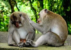 Long-Tailed Macaques Grooming photo
