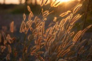 Pennisetum flower in sunlight photo