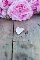 Rosa rosada foto