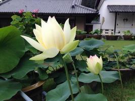 Hasu, a lotus flower