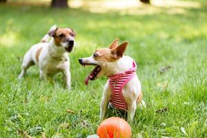 Small dog defends her toy photo
