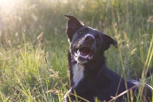 perro negro con oreja erguida foto