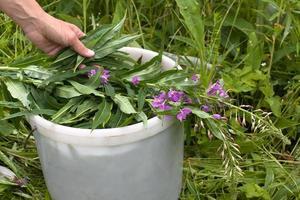 hand putting willow-herb (Ivan-tea) in the bucket