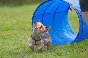 yorkshire terrier en la competencia de agilidad. foto