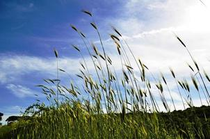 Wheat on sky background photo