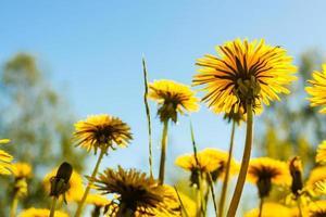 Dandelions Against The Sky