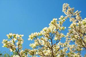 árbol de cornejo y cielo foto