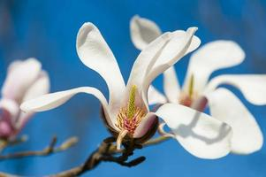Blooming magnolia tree against blue sky