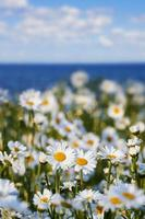 Daisies against the sky and sea