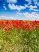 Red poppy flowers under spring sky
