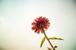 Zinnia flower and blue sky vintage photo