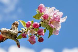 Flowers of apple tree against blue sky