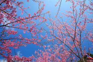 Spring Cherry Blossoms with Blue Sky Background