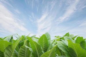 campo de tabaco verde com fundo de céu azul.