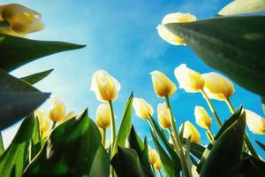 Yellow tulips on a background of blue sky