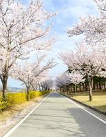 roze kersenboom bloesem en heldere blauwe hemel