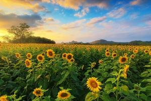 Blooming sunflower in a field with colorful sky.